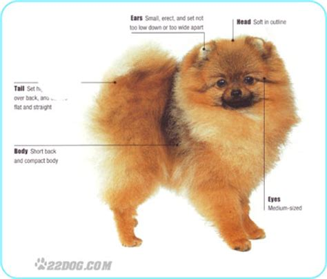 pomeranian breed standard luxpoms