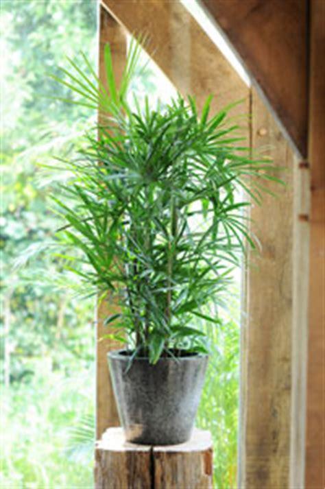 Cultiver Chignons De by Cultiver Un Palmier En Pot Gamm Vert