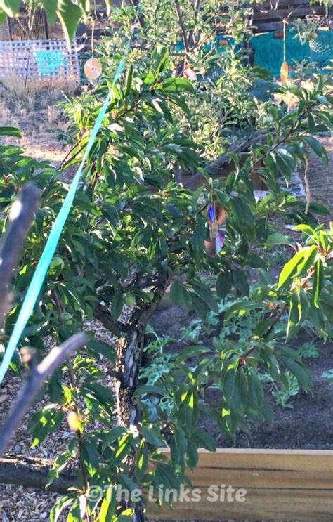 keep birds fruit trees humming for fruit trees the links site