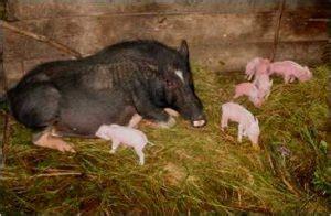 Kalung Taring Babi Kombinasi Tulang ini lho ragam babi asli indonesia pecinta satwa