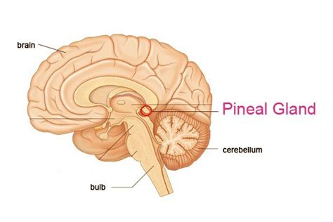 Http Humansarefree 2017 07 Pineal Gland How To Detox Part Of Your Html More by Endocrine System An Overview Rishu Shukla