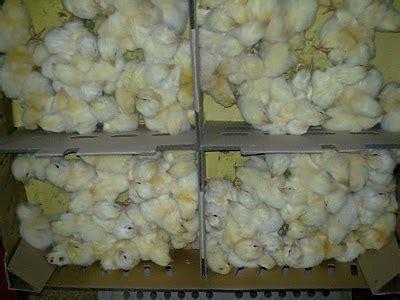 Bibit Ayam Broiler Bibit Ayam Broiler pelaksanaan pemilihan bibit ayam broiler ayam pedaging