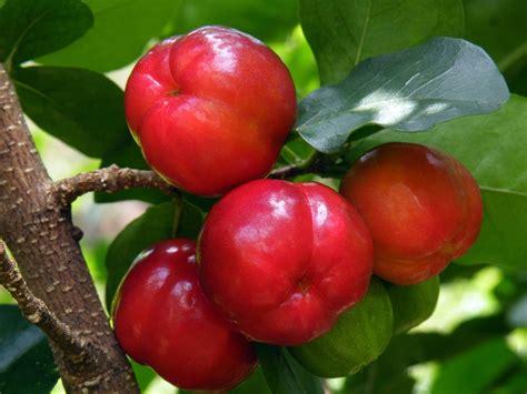 Bibit Cherry Suriname plantas milagrosas acerola benef 237 cios e qualidades