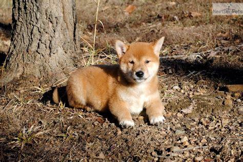 shiba inu puppies nc lilly shiba inu puppy for sale near carolina d1d4bfe5 a331