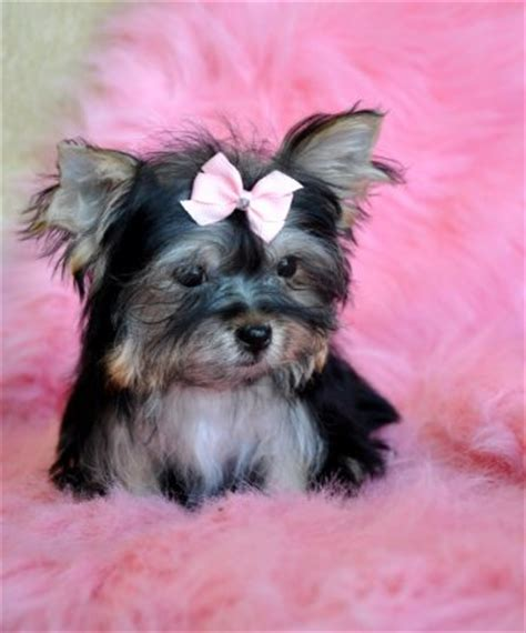 morkie puppies for sale michigan yorkie poo buy image search results breeds picture
