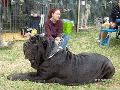 Best 25+ Worlds largest dog ideas on Pinterest | Largest ... Largest Dog In The World 2014