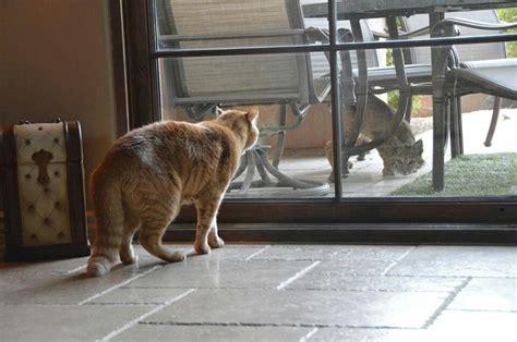 bobcat vs domestic cat images housecat vs bobcat domestic cats pinterest
