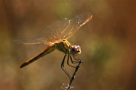 le doree libellule doree by skyrings on deviantart