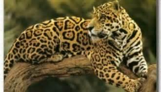 And Jaguar Jaguar Facts Big Cat Rescue