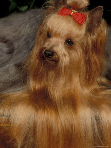 how to layer a long haired yorkie 43 best images about long hair on pinterest rapunzel my