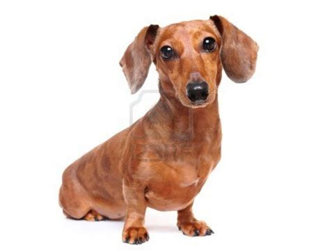 wiener puppies dogs dachshund