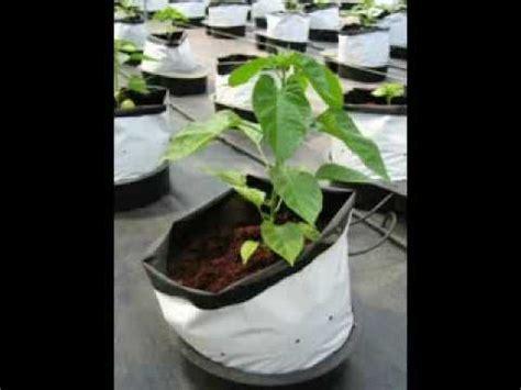 menanam jagung hidroponik tanam jagung hidroponik tanamanbaru