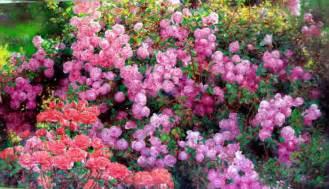romantic flowers rose garden