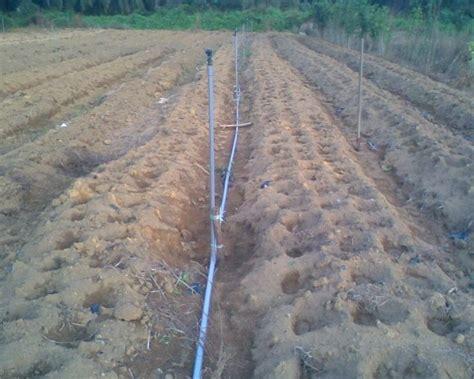 Gambar Benih Jagung Manis cara budidaya jagung manis yang baik dan benar