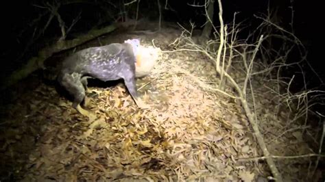 how to a to coon hunt gopro coon hunt hd