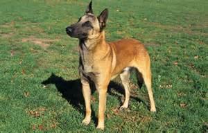 belgian sheepdog vetstreet belgian malinois breed information
