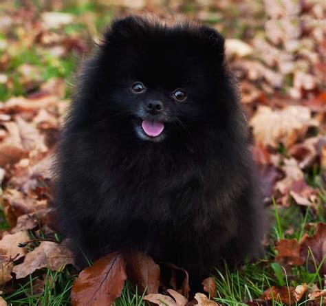 pomeranian with pomeranian probably the cutest breed k9 research lab