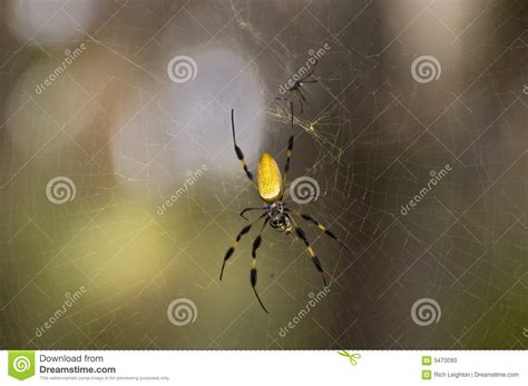 Golden Silk Spider With Mate Stock Photos Image 5470093