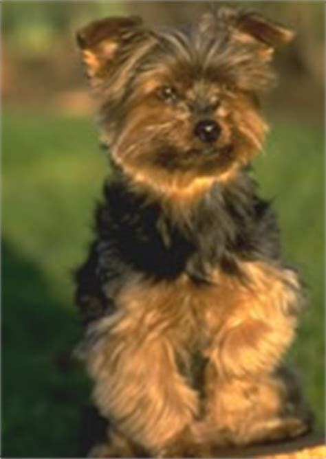 yorkie apso temperament yorkie apso and yorkie apso breeders dogs for sale