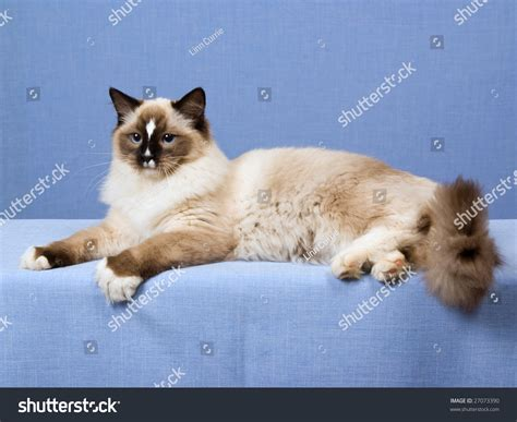 ragdoll 5 months 5 month ragdoll seal mitted kitten lying on blue