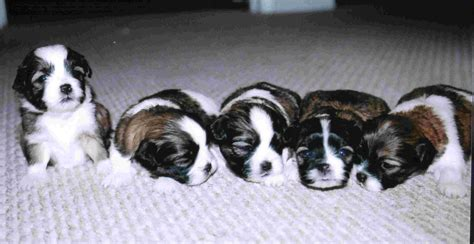 how many puppies can a shih tzu how many puppies can shih tzu assistedlivingcares