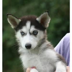 puppies for sale uk siberian husky puppies for sale uk auto design tech
