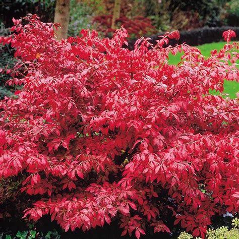 garten pflanzen bestellen feuerbusch euonymus 1 strauch g 252 nstig kaufen