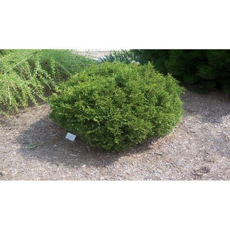 mm thuja occidentalis hertz midget  images garden