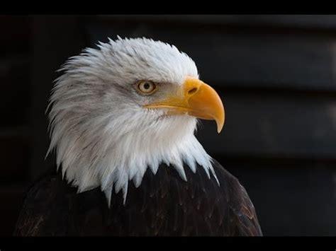paint  realistic bald eagle  acrylic paint