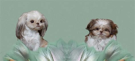 imperial shih tzu carolina imperial shih tzu adults assistedlivingcares