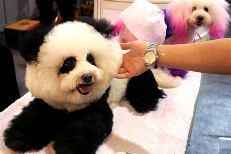 panda dogs china s pet trend dogs primped to look like pandas new york post