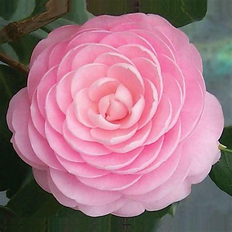 Camelia Pink camellia pink perfection camellia japonica hybrid