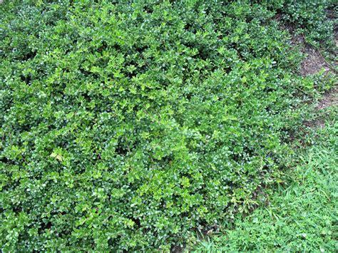 online plant guide arctostaphylos uva ursi kinnikinnick