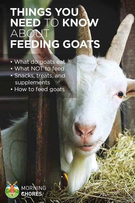 how to a not to eat everything what do goats eat and everything else about feeding goats