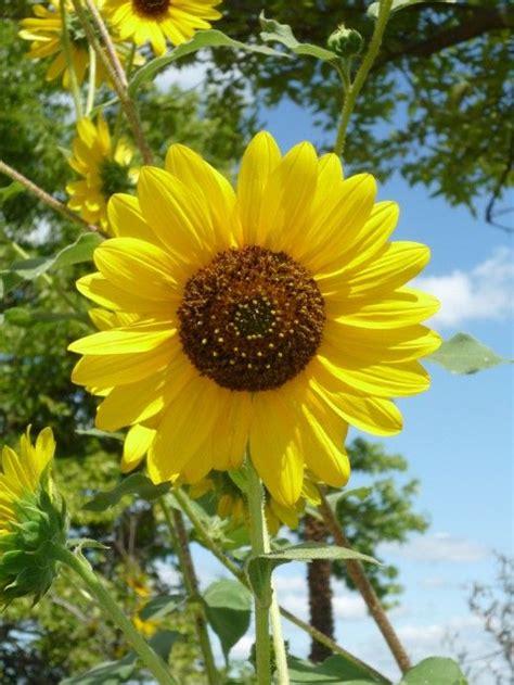 kansas sunflower 50 state flowers 1 pinterest 677 best images about kansas on pinterest charles curtis