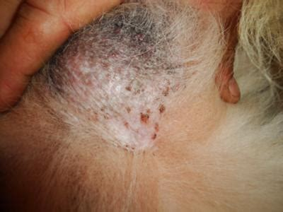 yeast infection on dogs belly yeast infection belly