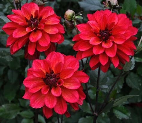 plants that do not need much sunlight groovy item 609 dahlias easy care beautiful plants