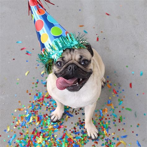 birthday pugs how doug the pug is really just the average 20 year odyssey