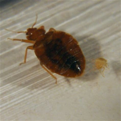 americas  bed bug infested cities