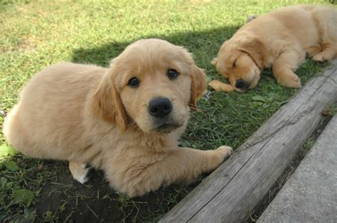 purebred golden retriever puppy factors to consider when purchasing a purebred golden retriever puppy mega bored