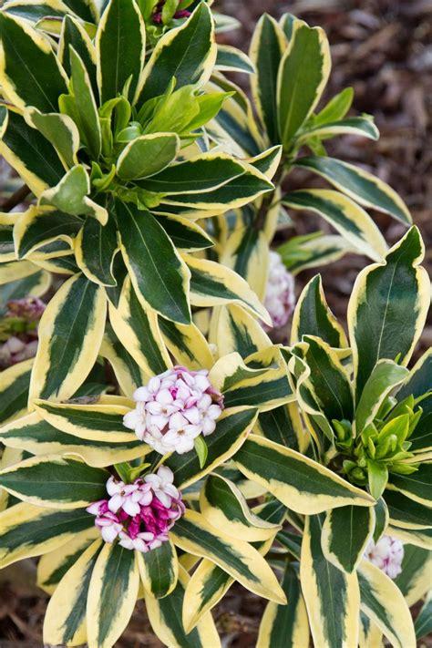 maejima variegated winter daphne winter garden winter