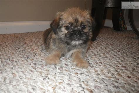 yorkies for sale in rochester ny terrier yorkie puppy for sale near rochester new york 89856c49 6311