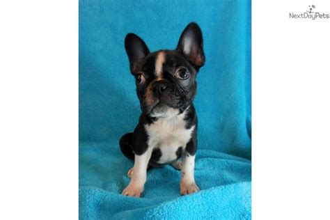 frenchton puppies for sale near me bulldog puppy for sale near knoxville tennessee 1562ad61 5eb1