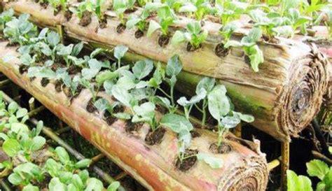 Benih Bawang Merah Yg Bagus pemanfaatan kedebog pisang sebagai media tanam sayuran