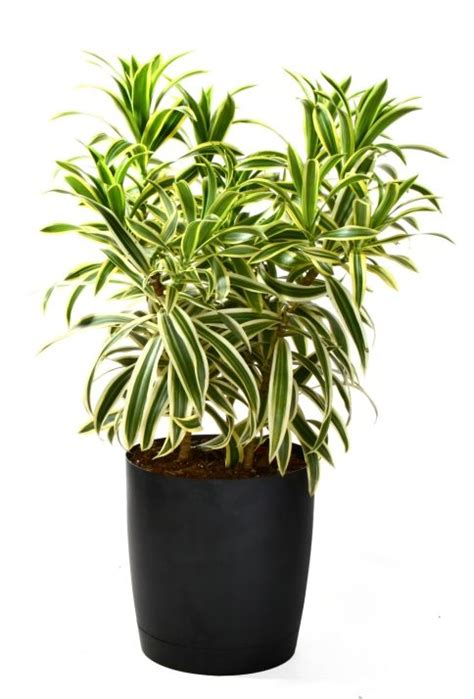 dracaena reflexa dracaena reflexa song of india folhas pinterest
