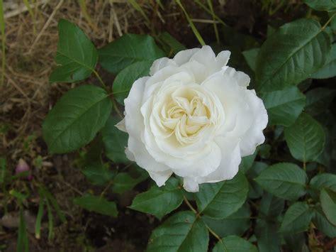 Pupuk Yang Bagus Untuk Bunga Mawar 123 gambar bunga mawar beserta cara menanam dan arti