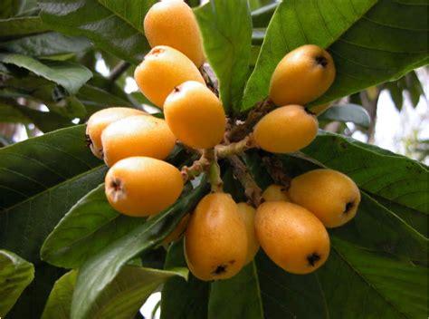 maryland fruit trees ornamental loquats produce fruit lsu agcenter