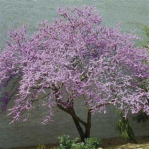 small backyard trees 70 best deciduous and flowering trees and shrubs images on pinterest
