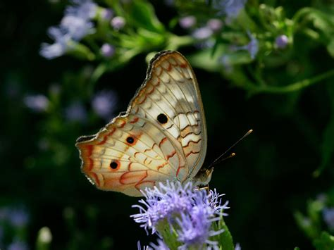 2019 White Kemben Butterfly anartia jatrophae white peacock butterfly papilio jatrophae