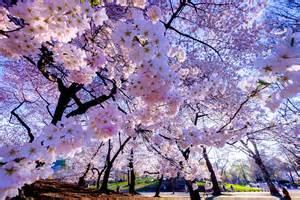 le natur fond ecran hd nature fleur cerisier jardin